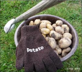 Potatis 2