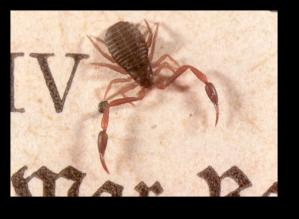 Bokskorpion