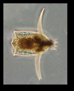 Djurplankton