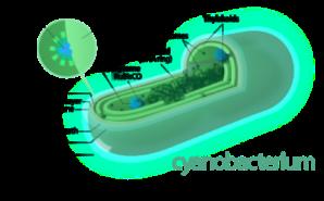 Cyanobakterie