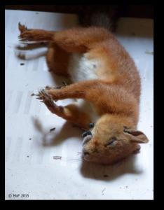 Död ekorre