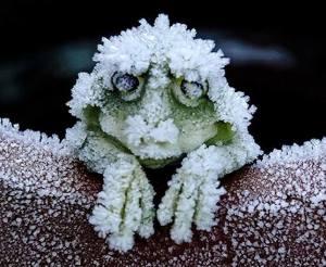 Alaskan Wood Frog (FB)
